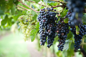Red Wine Grapes on a vine vines on Lake Garda in Italy. The grapes are ripe.