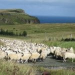 we-had-to-wait-for-the-sheep-to-cross-the-road-typical-on-the-isle-of-skye-dont-even-think-of-hurrying