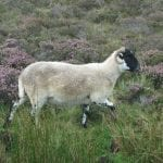 happy-sheep-prancing-through-the-scottish-heather