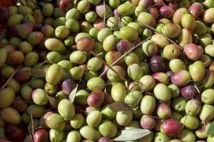 olives gonnos sardinia
