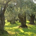 Olive grove, Sardinia