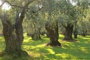 olive grove sardinia