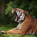 Tiger, Sumatra