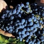 Beautiful Croatian grapes!