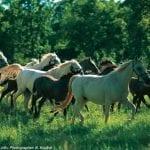 Lipica Horses