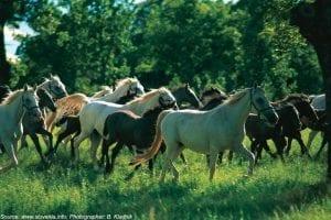 croatia tours lipica horses