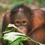 Orang Utan, Semenggoh Wildlife Center, Sarawak