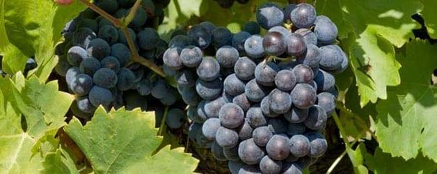 Grenache: An Honorable Vine