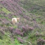 this-hairy-coo-is-lost-in-the-scottish-heather