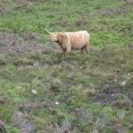this-is-the-scottish-hairy-coo-a-very-funny-looking-cow